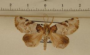 Boryza aeraria mâle
