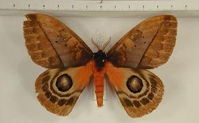Automeris larra mâle