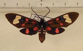 Histioea cepheus cepheus mâle