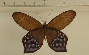 Pierella hyalinus mâle