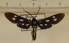 Calonotos longipennis mâle