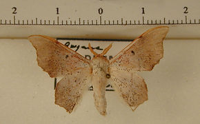 Lacosoma philastria mâle