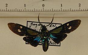 Belemnia eryx mâle