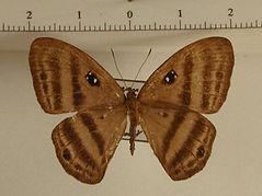 Mesosemia decolorata meyi mâle