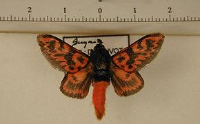 Edebessa bicolor mâle