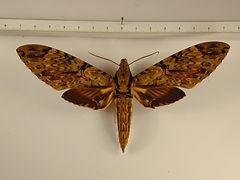 Amphimoea walkeri mâle