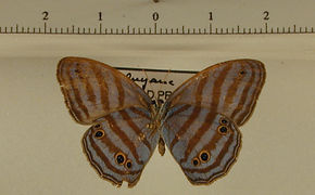 Cepheuptychia cephus femelle verso