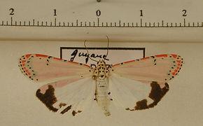 Utetheisa ornatrix mâle