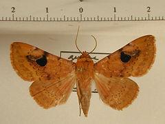 Epitausa megastigma mâle