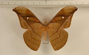 Copaxa marona mâle