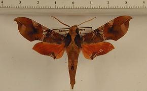 Callionima falcifera falcifera mâle
