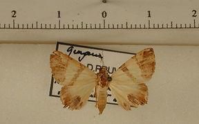 Eulepidotis juliata mâle