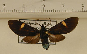 Delphyre varians mâle