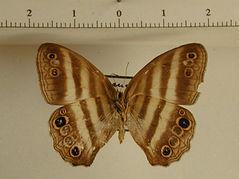 Pareuptychia sp. mâle