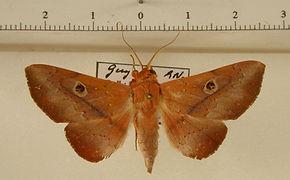 Obroatis cratinus mâle