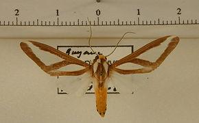 Robinsonia dewitzi mâle