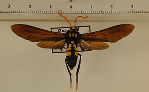Orcynia calcarata mâle