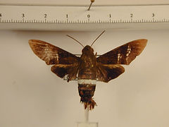 Aellopos titan mâle