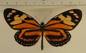 Lycorea halia halia mâle