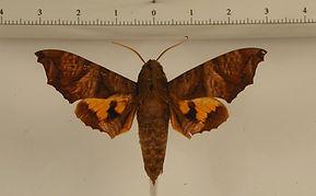 Nyceryx coffaeae mâle