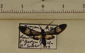Heterodontia fenestrina mâle