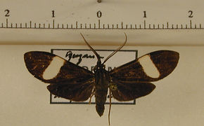 Loxozona lanceolata mâle