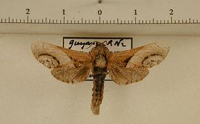 Puseyia puseyiae mâle