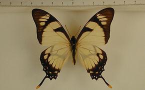 Eurytides dolicaon dolicaon mâle