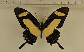 Heraclides torquatus torquatus mâle