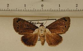 Afrida choreutoides mâle
