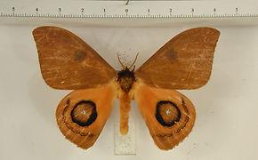 Automeris fletcheri mâle