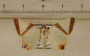 Eulepidotis santarema mâle