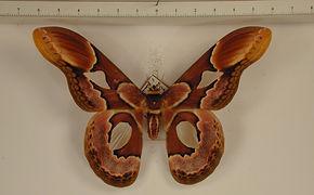 Rothschildia erycina erycina mâle