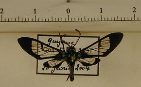 Xanthyda xanthosticta mâle