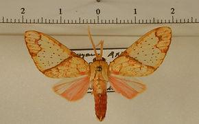 Premolis semirufa mâle