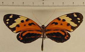 Melinaea menophilus mediatrix mâle