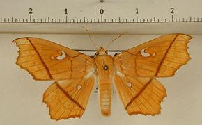 Midila poppaea mâle