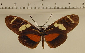 Heliconius ricini mâle