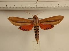 Phryxus caicus mâle