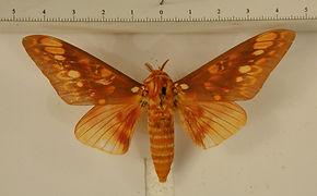 Citheronia aroa mâle