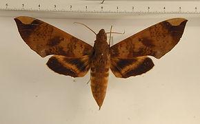 Pachylia ficus mâle