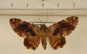Coenipeta umbrata mâle