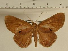 Dyomyx egistoides mâle