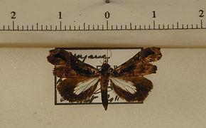 Lascoria dulcena mâle