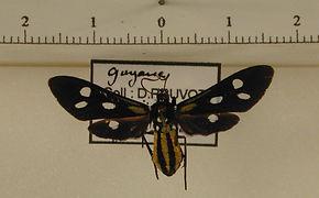 Calonotos aequimaculatus mâle