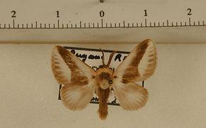 Mesoscia pusilla mâle