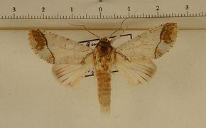 Rifargia lineata mâle