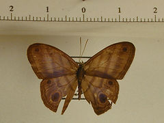 Chloreuptychia marica mâle