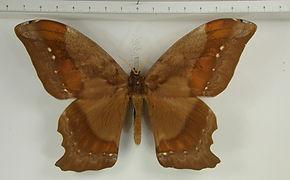 Arsenura batesii arcaei mâle