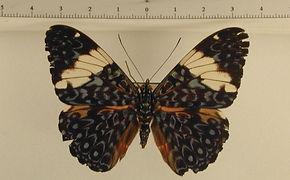 Hamadryas amphinome amphinome mâle